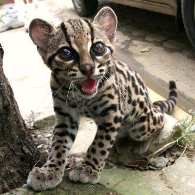 Самая глазастая и красивая кошка в мире